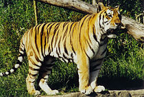 https://upload.wikimedia.org/wikipedia/commons/thumb/2/2a/Amur_or_Siberian_tiger_%28Panthera_tigris_altaica%29%2C_Tierpark_Hagenbeck%2C_Hamburg%2C_Germany_-_20070514.jpg/210px-Amur_or_Siberian_tiger_%28Panthera_tigris_altaica%29%2C_Tierpark_Hagenbeck%2C_Hamburg%2C_Germany_-_20070514.jpg