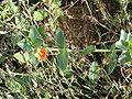 Anagallis arvensis-tige.jpg