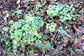 Anaphalis sinica - Quarryhill Botanical Garden - DSC03295.JPG