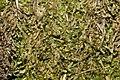 Anastrophyllum minutum (a, 142634-474025) 4363.JPG
