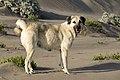 Anatolian Shepherd Dog 01.jpg