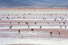 Laguna Colorada - Flamingo