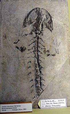 Fossil von Andrias scheuchzeri im Museum für Naturkunde Berlin.