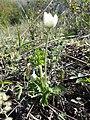 Anemone sylvestris sl39.jpg