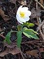 Anemonoides nemorosa 114334904.jpg