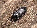 Anisodactylus signatus 001 male Yokohama 12.6mm 110625.jpg