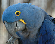 Anodorhynchus hyacinthinus -Hyacinth Macaw -side of head.jpg