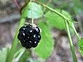 Another blackberry (226212513).jpg