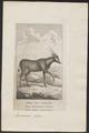 Antilope oreas - 1787 - Print - Iconographia Zoologica - Special Collections University of Amsterdam - UBA01 IZ21400037.tif