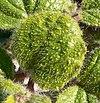 Anulocaulis annulatus 2