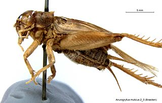 <i>Anurogryllus muticus</i> species of insect