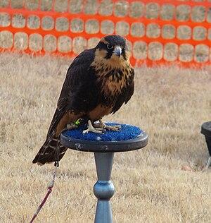 Aplomado falcon - Aplomado falcon at the THA Meet '09