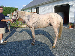 meaning of appaloosa