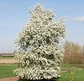 Appletree in the fields near Wageningen with magnificient blossom in springtime - panoramio.jpg