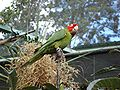 Aratinga erythrogenys -captivity-6.jpg