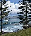 Araucaria heterophylla Norfolk Island 20.jpg