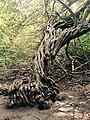 Arbre de la Mangrove.jpg