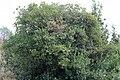 Arbutus unedo (49107053197).jpg