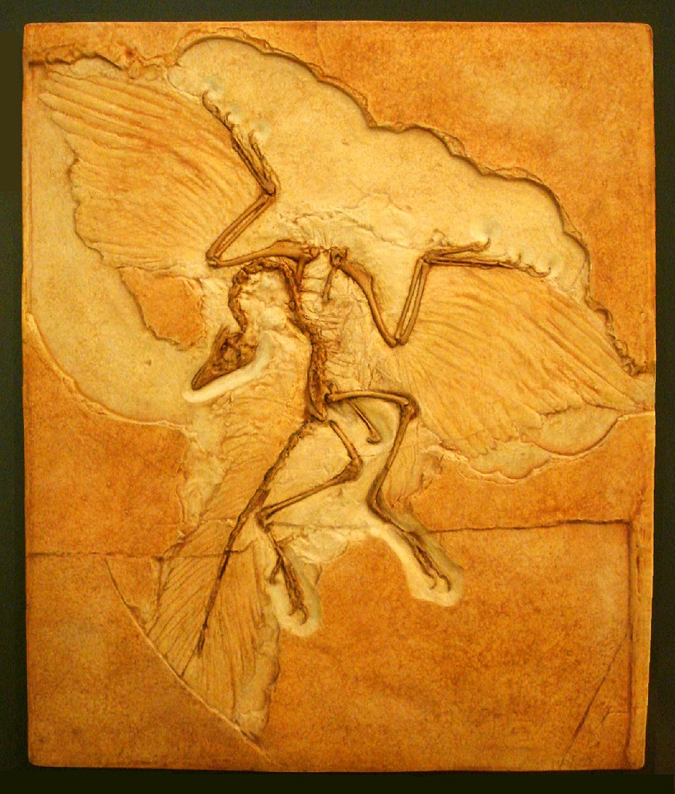 Archaeopteryx American Museum of Natural History