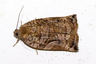 <i>Archips oporana</i> Species of moth