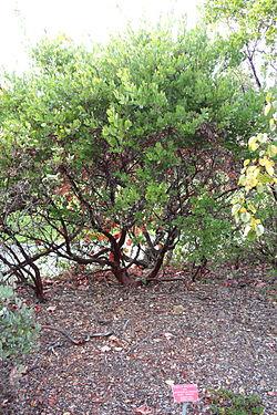Arctostaphylos hispidula - Regional Parks Botanic Garden, Berkeley, CA - DSC04377.JPG