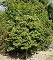 Ardisia Escallonioides (Marlberry) Bush (28260296943).jpg