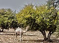 Argan Trees.jpg