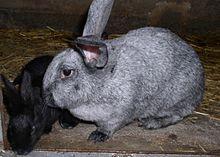 Liste des races de lapins wikip dia - Liste des magasins promenade des flandres ...