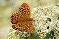 Argynnis paphia formosicola dorsal view 20150622.jpg