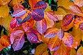 Aronia leaves on a rainy autumn day in Tuntorp 15.jpg