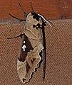 Arrow Sphinx (Lophostethus dumolinii) (12934157163).jpg