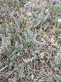 Artemisia austriaca sl4.jpg