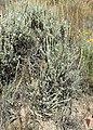 Artemisia tridentata kz01.jpg