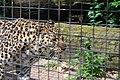 Artis Leopard (3562858125).jpg