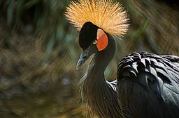 Artis black crowned crane1