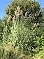 Arundo donax 'Variegata' - J. C. Raulston Arboretum - DSC06209.JPG