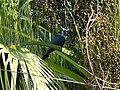 Asian Koel - Eudynamys scolopaceus - P1090241.jpg