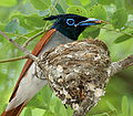 Asian Paradise Flycatcher (Terpsiphone paradisi)-male with a feed at nest W2 IMG 9293.jpg
