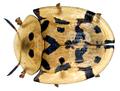 Aspidimorpha deusta (Fabricius, 1775) Syn. Aspidomorpha deusta (Fabricius, 1775).png