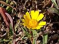 Asteriscus maritimus FlowersCloseup 15July2009 ParqueNaturalLagunasdelaMata.jpg