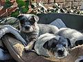 Australian Cattle Dog puppies 01.JPG