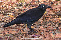 a black bird in leaf litter