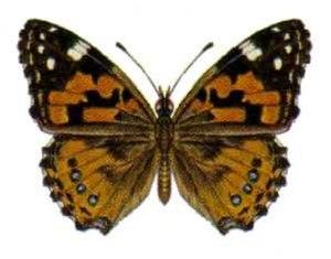 Butterflies of New Zealand - Australian painted lady
