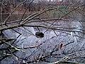 Bóbr (Castor fiber) w stawie bieńczyckim - panoramio.jpg