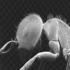 SEM image of P. barbatus (Image: C.-P. Strehl)