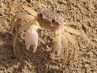 Ocypodoidea superfamily of crustaceans