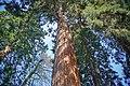 Badenweiler - Kurpark - Mammutbaum (25).jpg