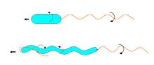 Bakterien Fortbewegung