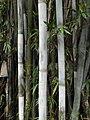 Bambusa chungii close up view of the stem in HK.JPG
