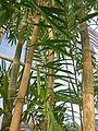 Bambusa vulgaris (DITSL).JPG